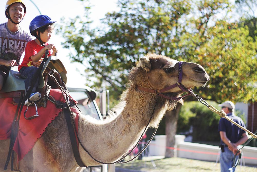 nanson-jinn-nat-camel