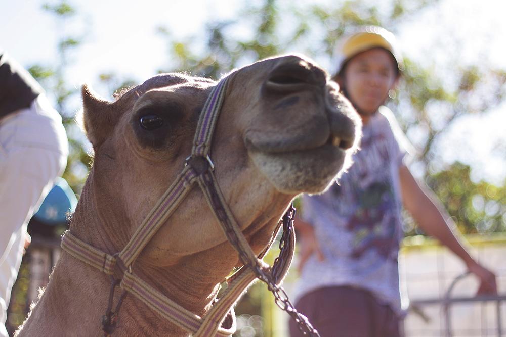 nanson-st-jinn-camel