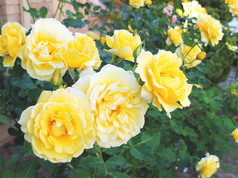 parents roses