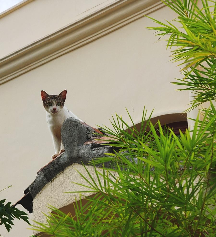 khoo-cat