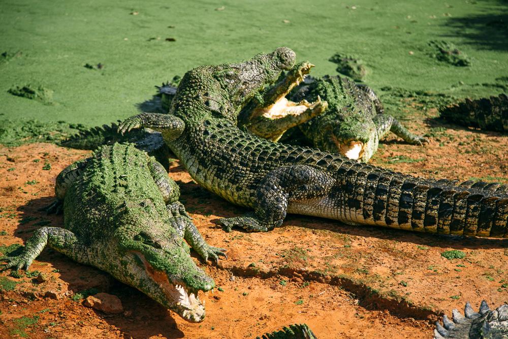 croc-farm-17