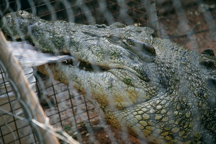 croc-farm-25