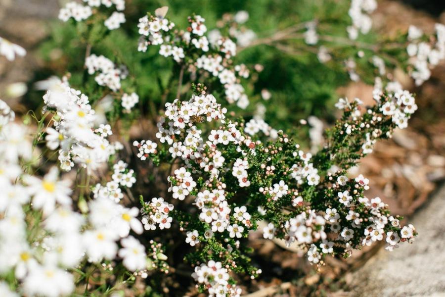 kings-park-wildflowers-2