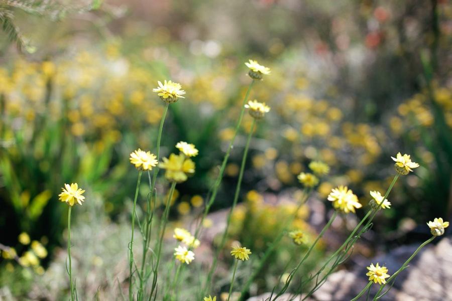 kings-park-wildflowers-3