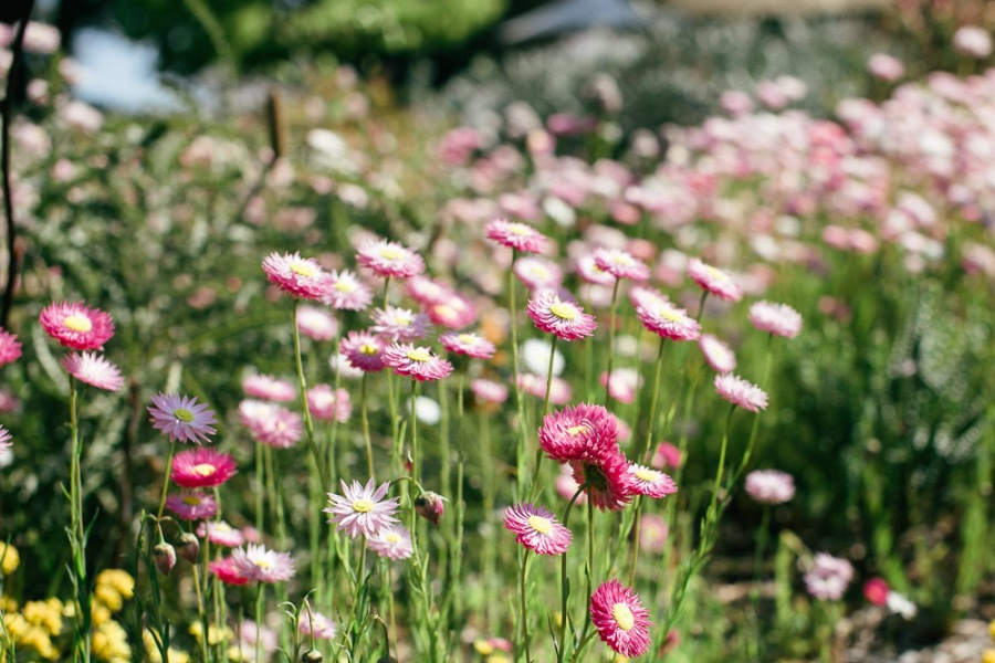 kings-park-wildflowers-6
