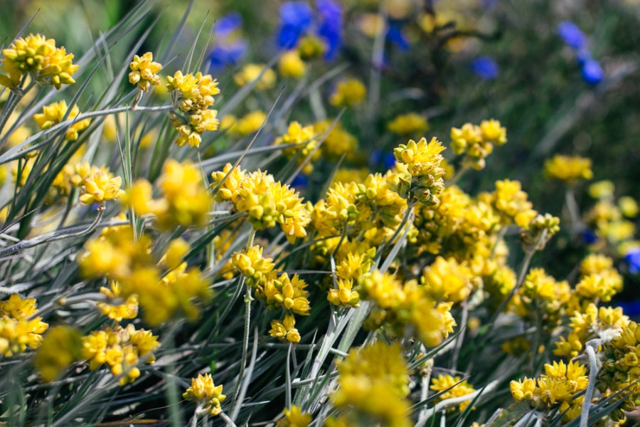 kings-park-wildflowers-7