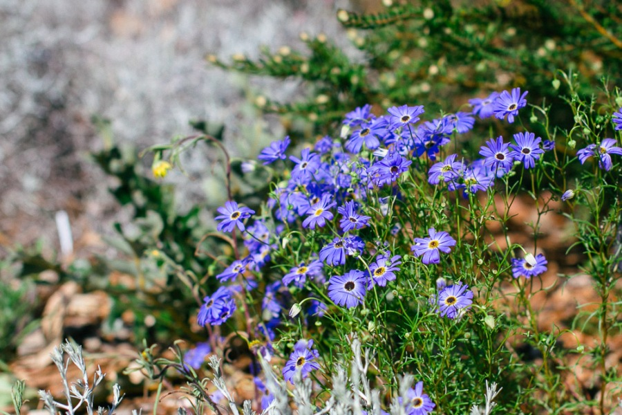 kings-park-wildflowers-9